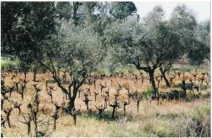 Δασογεωργικό σύστημα ελιές – αμπέλι στο Ν. Ηλείας