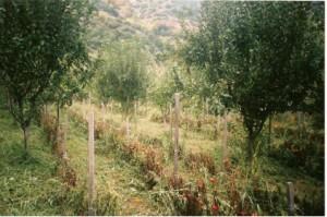 Δασογεωργικό σύστημα μηλιές - ντομάτες στο Ν. Ευβοίας